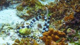 Svartvitt undervattens- foto för havsorm Farligt marin- djur Royaltyfri Bild