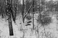 Svartvitt vinterlandskap med dolda träd för snö Royaltyfri Bild