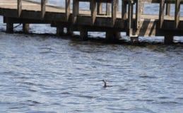 Svasso Torta-fatturato Duck Swimming in un lago fotografie stock