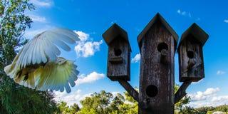 Svavel-krönad annalkande landning för kakadua Royaltyfri Bild