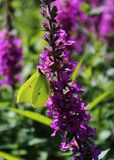 Svavelfjäril på en purpurfärgad blomma royaltyfri fotografi