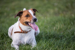 Svedese danese Farmdog Fotografia Stock