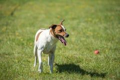 Svedese danese Farmdog fotografie stock