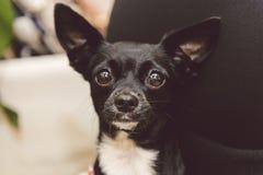 Sveglio dolce femminile curioso del cane Fotografie Stock Libere da Diritti