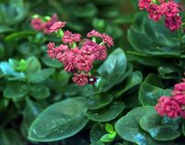 Sveglio e facile preoccuparsi per, il kalanchoe è un succulente con grande fogliame verde fotografia stock