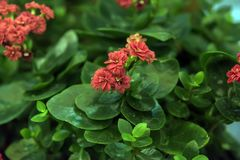 Sveglio e facile preoccuparsi per, il kalanchoe è un succulente con grande fogliame verde immagine stock