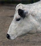 Svensk hornless ko Arkivfoto