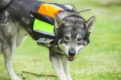Svenska Elkhound Royaltyfria Foton