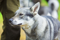 Svenska Elkhound Fotografering för Bildbyråer