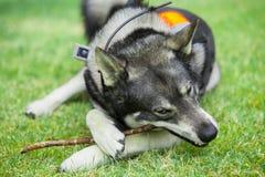 Svenska Elkhound Arkivfoton