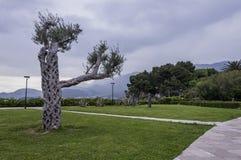 Sveti Stefan, park, olijfboom stock foto's