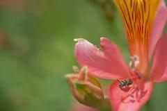 Svettbi på den firy blomman Arkivbilder