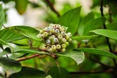 Svidina, dogwood, white telikraniya,Cornus alba berries Royalty Free Stock Photos