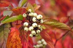 Svidina, dogwood, white telikraniya,Cornus alba berries Royalty Free Stock Photo