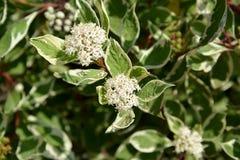 Svidina white (Derain, it is twisted) poecilophyllous (Cornus (Swidina) alba L. 'Variegaya' Stock Photos