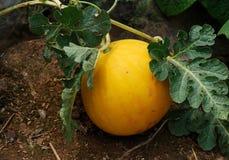Sviluppo dei meloni di melata nei campi Immagine Stock