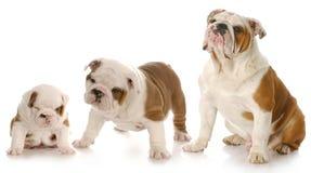 Sviluppo del cucciolo Fotografia Stock