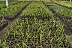 Sviluppo del semenzale. Immagine Stock Libera da Diritti