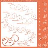 Sviluppo dell'embrione Fotografia Stock
