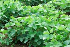 Sviluppo della soia nei campi Immagine Stock