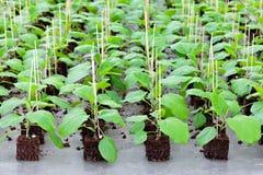 Sviluppo delle piante di giardinaggio all'interno di una serra Fotografie Stock