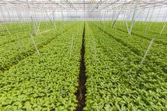 Sviluppo delle piante di giardino verdi all'interno di una serra Immagini Stock Libere da Diritti