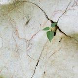 Sviluppo di pianta in pietra incrinata Immagine Stock