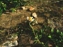 Sviluppo di un fiore immagine stock