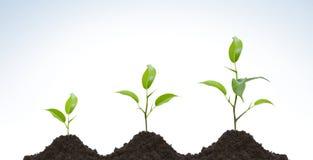 Sviluppo di una pianta giovane Fotografia Stock