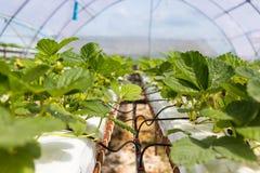 Sviluppo industriale delle fragole, fila della fragola di coltura idroponica dentro Fotografia Stock