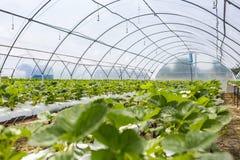 Sviluppo industriale delle fragole, fila della fragola di coltura idroponica dentro Immagini Stock