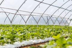 Sviluppo industriale delle fragole, fila della fragola di coltura idroponica dentro Fotografia Stock Libera da Diritti