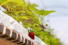 Sviluppo industriale delle fragole, fila della fragola di coltura idroponica dentro Fotografie Stock Libere da Diritti