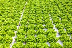 Sviluppo industriale di lattuga in una serra Immagine Stock Libera da Diritti