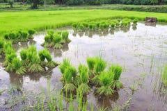 Sviluppo tailandese del riso di stile Immagine Stock Libera da Diritti