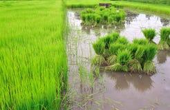 Sviluppo tailandese del riso di stile Fotografia Stock Libera da Diritti