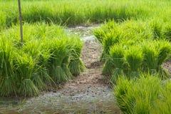 Sviluppo tailandese tradizionale del riso di stile Fotografia Stock