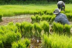 Sviluppo tailandese tradizionale del riso di stile Fotografia Stock Libera da Diritti