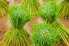 Sviluppo tradizionale del riso in Tailandia Immagini Stock