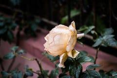 Svimmade gula Rose With Soft Focus Background Royaltyfria Bilder