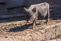 svin är svarta Ett svin royaltyfria bilder