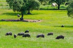 Svin betar på lantgård i bygd av Badajoz arkivbilder