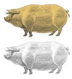 Svin eller svin i tappning inristad stil Royaltyfria Foton