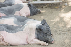 Svin i boskaplantgård arkivfoto