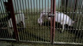 Svin i buren på den djura lantgården arkivfilmer