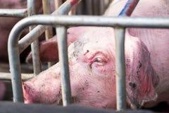 Svin i buren, selektiv fokus på öga Royaltyfria Bilder