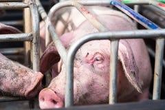 Svin i buren, selektiv fokus på öga Royaltyfri Bild