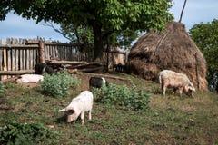 Svin i gården i rumänska Banat Arkivfoton