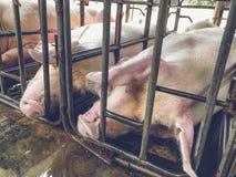 Svin i järnstalls Arkivbild