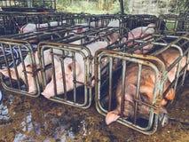 Svin i järnstalls Arkivbilder